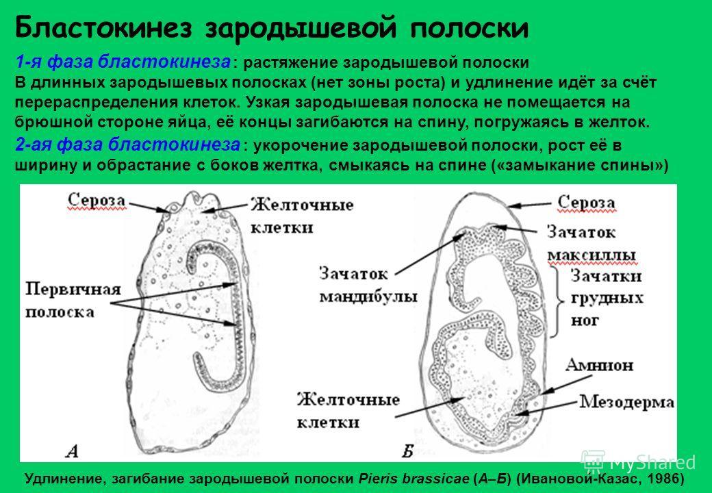 Бластокинез зародышевой полоски 1-я фаза бластокинеза : растяжение зародышевой полоски В длинных зародышевых полосках (нет зоны роста) и удлинение идёт за счёт перераспределения клеток. Узкая зародышевая полоска не помещается на брюшной стороне яйца,