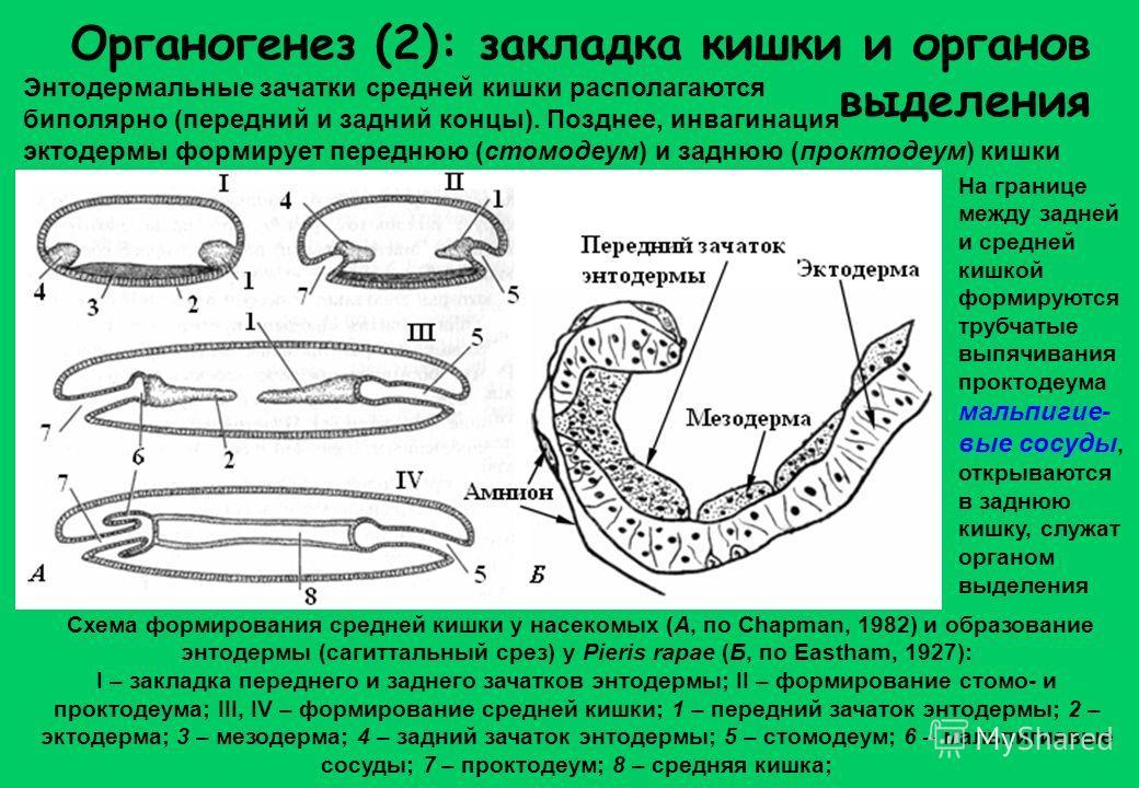 Органогенез (2): закладка кишки и органов выделения Энтодермальные зачатки средней кишки располагаются биполярно (передний и задний концы). Позднее, инвагинация эктодермы формирует переднюю (стомодеум) и заднюю (проктодеум) кишки Схема формирования с