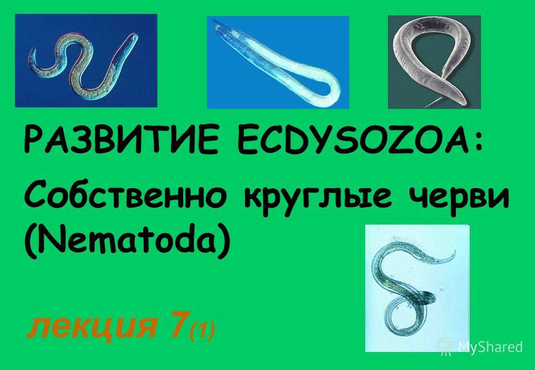 РАЗВИТИЕ ECDYSOZOA: лекция 7 (1) Собственно круглые черви (Nematoda)