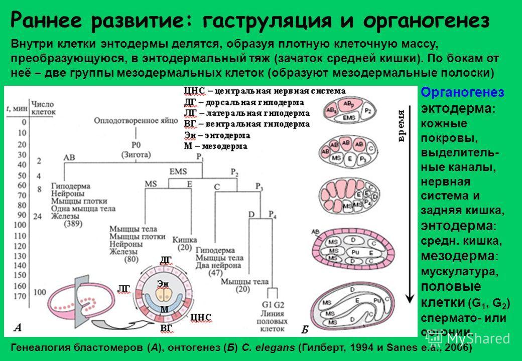 Раннее развитие: гаструляция и органогенез Внутри клетки энтодермы делятся, образуя плотную клеточную массу, преобразующуюся, в энтодермальный тяж (зачаток средней кишки). По бокам от неё – две группы мезодермальных клеток (образуют мезодермальные по