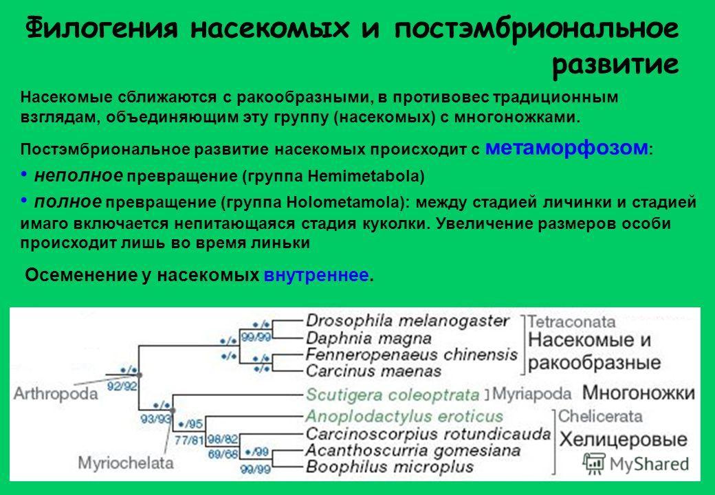 Насекомые сближаются с ракообразными, в противовес традиционным взглядам, объединяющим эту группу (насекомых) с многоножками. Филогения насекомых и постэмбриональное развитие Постэмбриональное развитие насекомых происходит с метаморфозом : неполное п