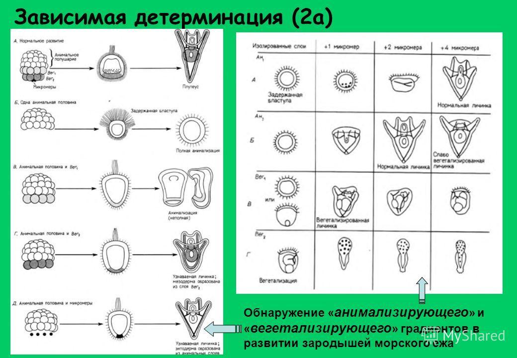 Зависимая детерминация (2а) Обнаружение « анимализирующего » и « вегетализирующего » градиентов в развитии зародышей морского ежа