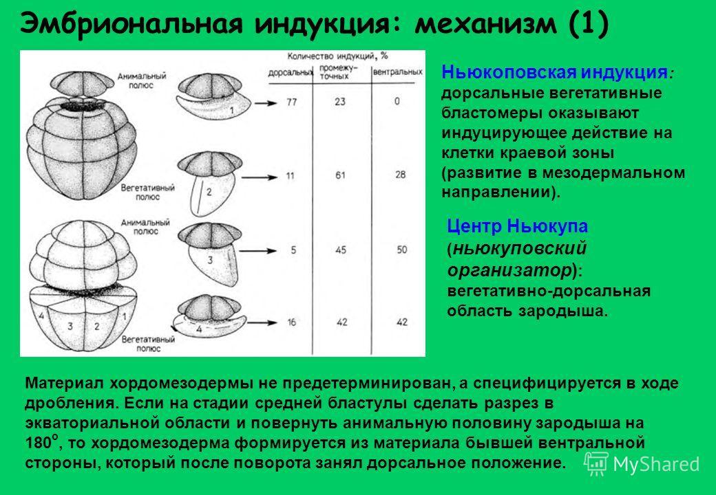 Эмбриональная индукция: механизм (1) Материал хордомезодермы не предетерминирован, а специфицируется в ходе дробления. Если на стадии средней бластулы сделать разрез в экваториальной области и повернуть анимальную половину зародыша на 180 о, то хордо