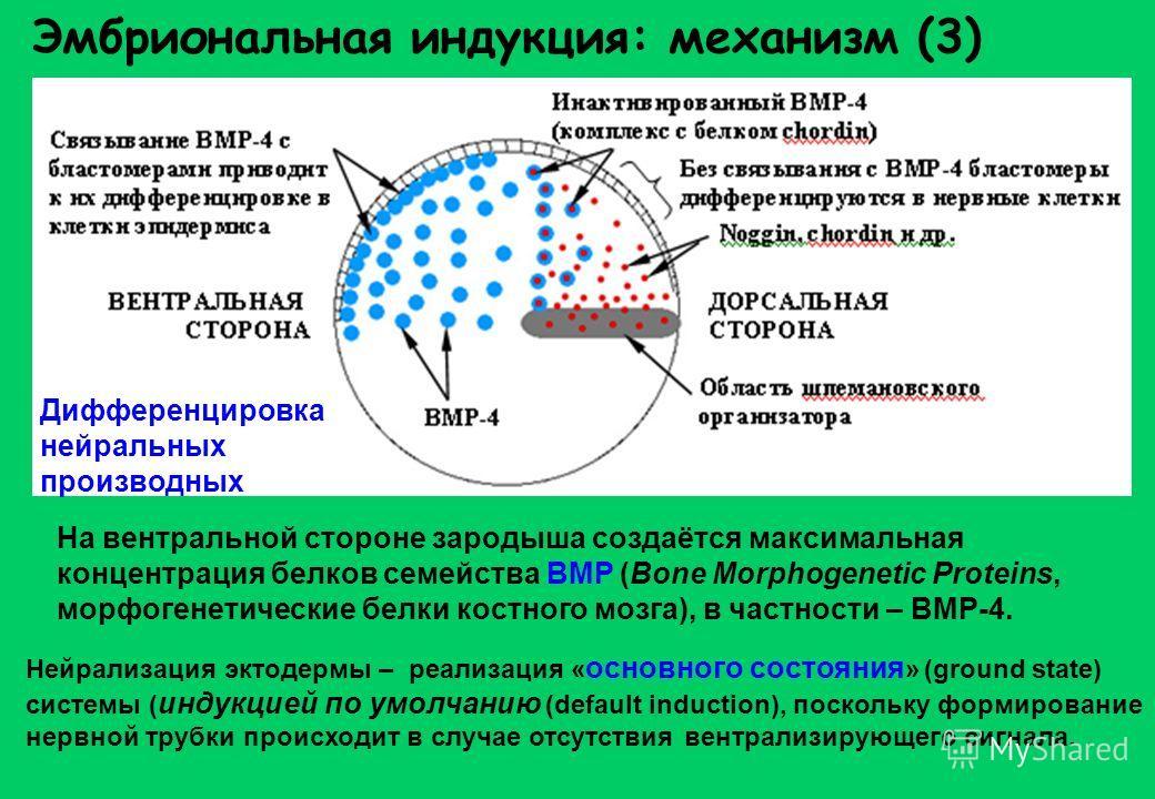 Эмбриональная индукция: механизм (3) Дифференцировка нейральных производных На вентральной стороне зародыша создаётся максимальная концентрация белков семейства BMP (Bone Morphogenetic Proteins, морфогенетические белки костного мозга), в частности –