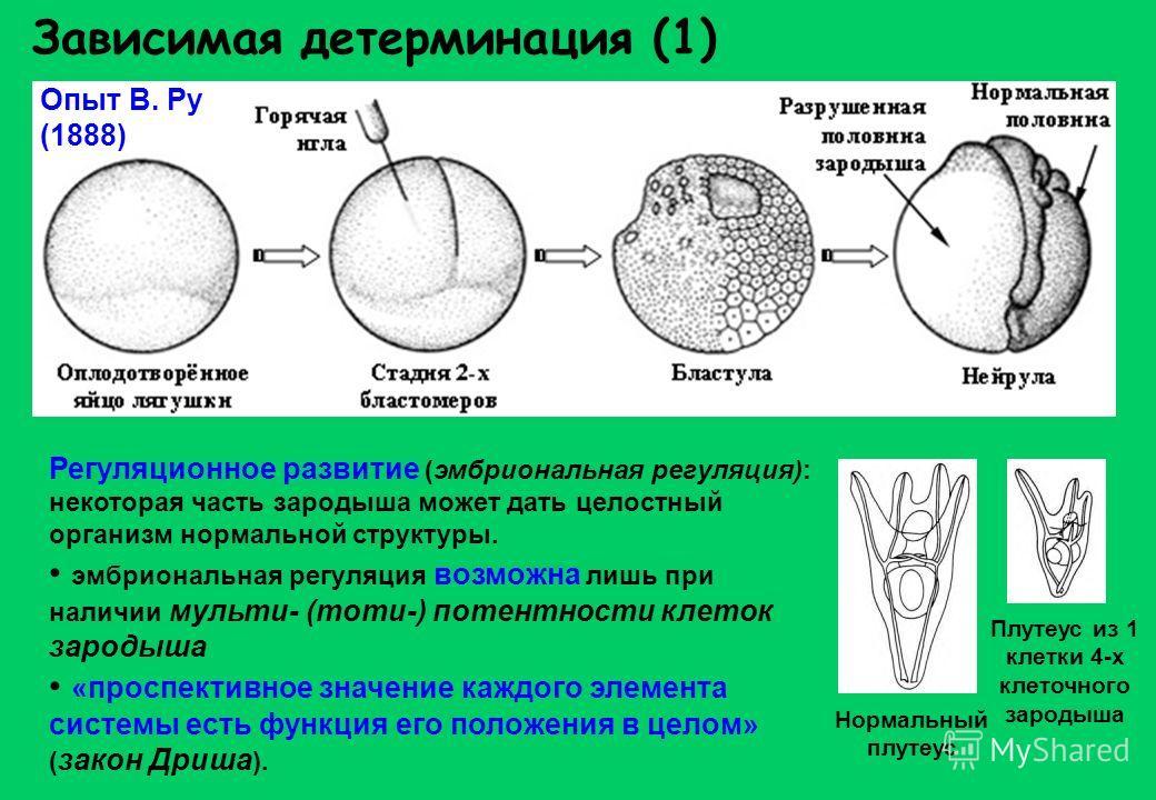 Зависимая детерминация (1) Опыт В. Ру (1888) Регуляционное развитие (эмбриональная регуляция): некоторая часть зародыша может дать целостный организм нормальной структуры. эмбриональная регуляция возможна лишь при наличии мульти- (тоти-) потентности