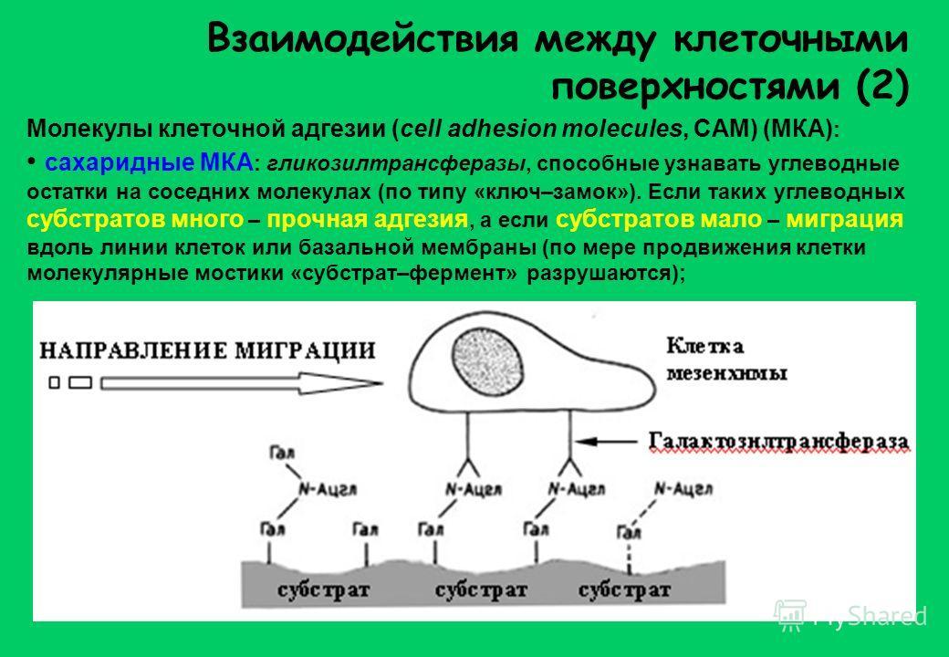 Взаимодействия между клеточными поверхностями (2) Молекулы клеточной адгезии (cell adhesion molecules, CAM) (МКА) : сахаридные МКА : гликозилтрансферазы, способные узнавать углеводные остатки на соседних молекулах (по типу «ключ–замок»). Если таких у