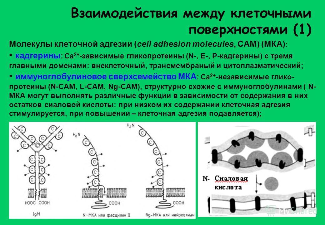 Взаимодействия между клеточными поверхностями (1) Молекулы клеточной адгезии (cell adhesion molecules, CAM) (МКА) : кадгерины : Са 2+ -зависимые гликопротеины (N-, Е-, P-кадгерины) с тремя главными доменами: внеклеточный, трансмембраный и цитоплазмат