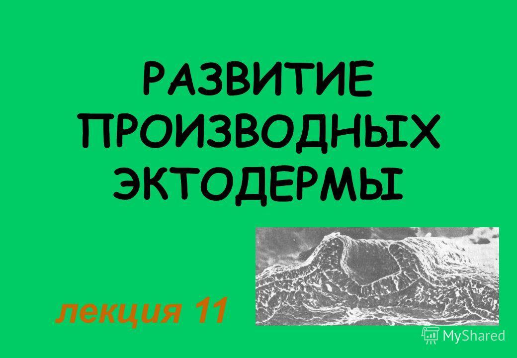 РАЗВИТИЕ ПРОИЗВОДНЫХ ЭКТОДЕРМЫ лекция 11