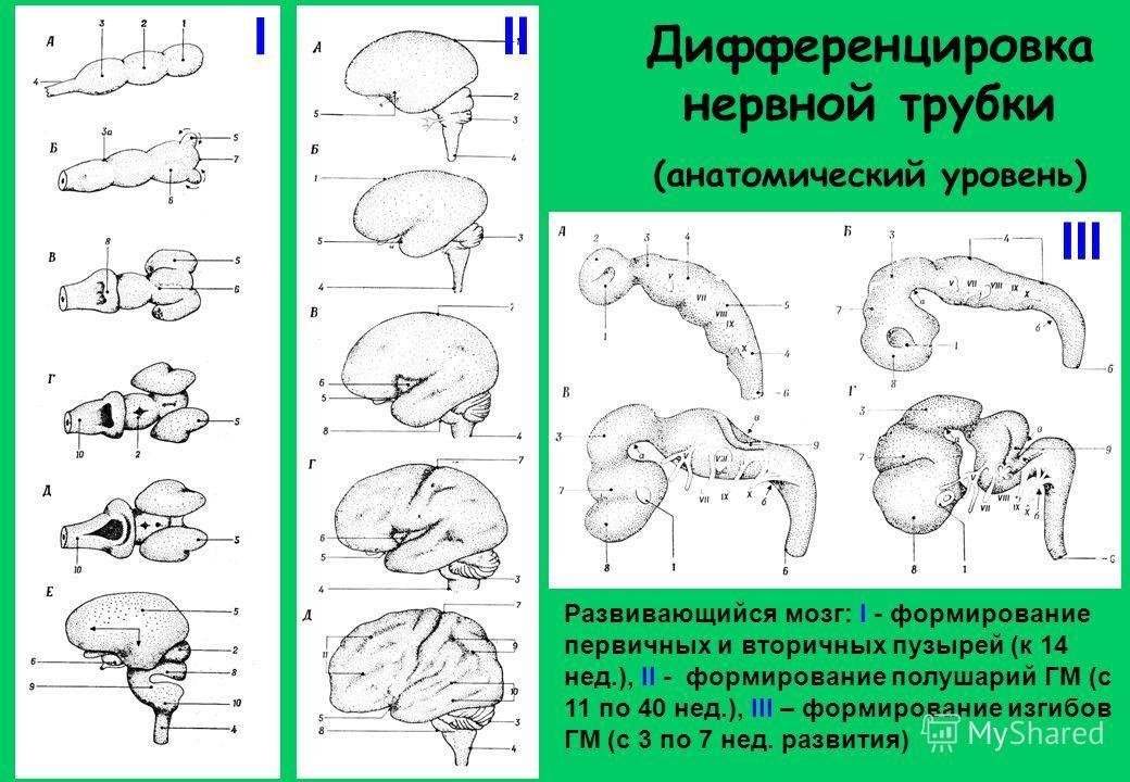 Дифференцировка нервной трубки (анатомический уровень) Развивающийся мозг: I - формирование первичных и вторичных пузырей (к 14 нед.), II - формирование полушарий ГМ (с 11 по 40 нед.), III – формирование изгибов ГМ (с 3 по 7 нед. развития) I II III