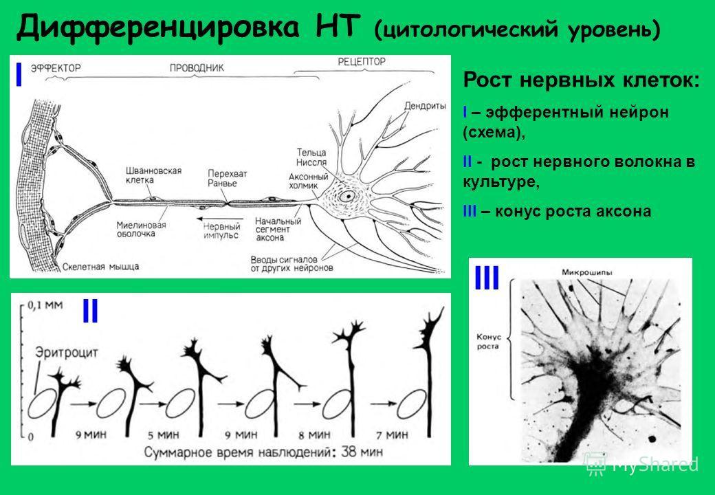 Дифференцировка НТ (цитологический уровень) Рост нервных клеток: I – эфферентный нейрон (схема), II - рост нервного волокна в культуре, III – конус роста аксона I II III