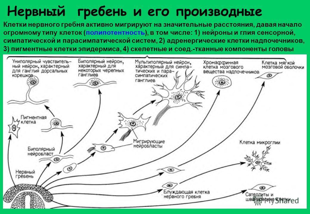 Нервный гребень и его производные Клетки нервного гребня активно мигрируют на значительные расстояния, давая начало огромному типу клеток (полипотентность), в том числе: 1) нейроны и глия сенсорной, симпатической и парасимпатической систем, 2) адрене