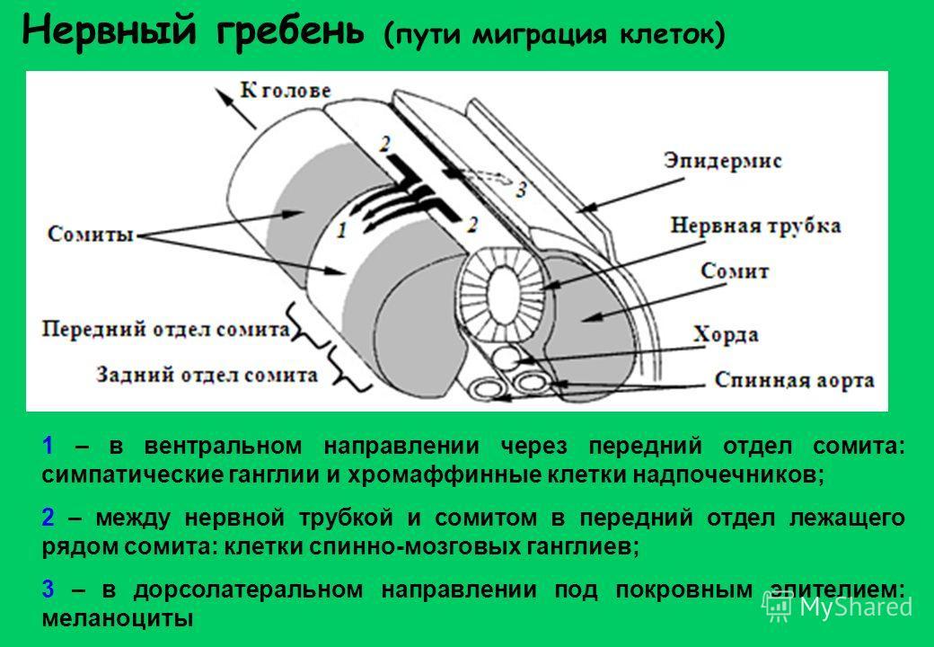 Нервный гребень (пути миграция клеток) 1 – в вентральном направлении через передний отдел сомита: симпатические ганглии и хромаффинные клетки надпочечников; 2 – между нервной трубкой и сомитом в передний отдел лежащего рядом сомита: клетки спинно-моз