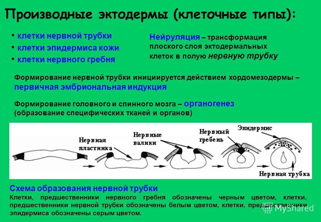 Производные эктодермы (клеточные типы): клетки нервной трубки клетки эпидермиса кожи клетки нервного гребня Нейруляция – трансформация плоского слоя эктодермальных клеток в полую нервную трубку Формирование нервной трубки инициируется действием хордо