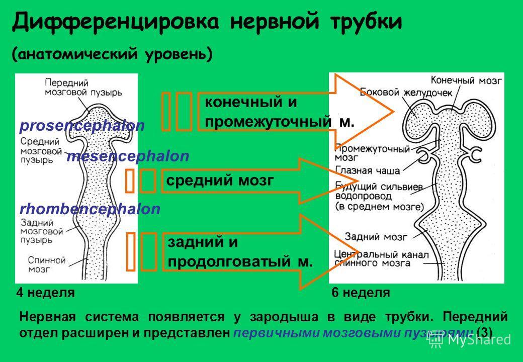 Нервная система появляется у зародыша в виде трубки. Передний отдел расширен и представлен первичными мозговыми пузырями (3) prosencephalon mesencephalon rhombencephalon конечный и промежуточный м. задний и продолговатый м. средний мозг Дифференциров
