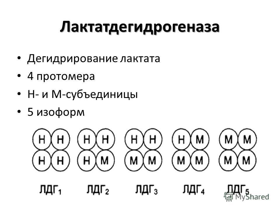 Лактатдегидрогеназа Дегидрирование лактата 4 протомера Н- и М-субъединицы 5 изоформ