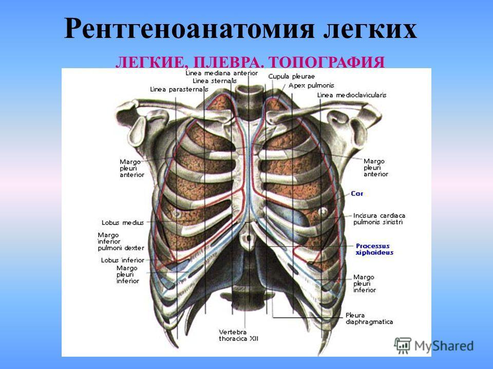 Рентгеноанатомия легких ЗАДНЯЯ ПРОЭКЦИЯ ЛЕГКИХ