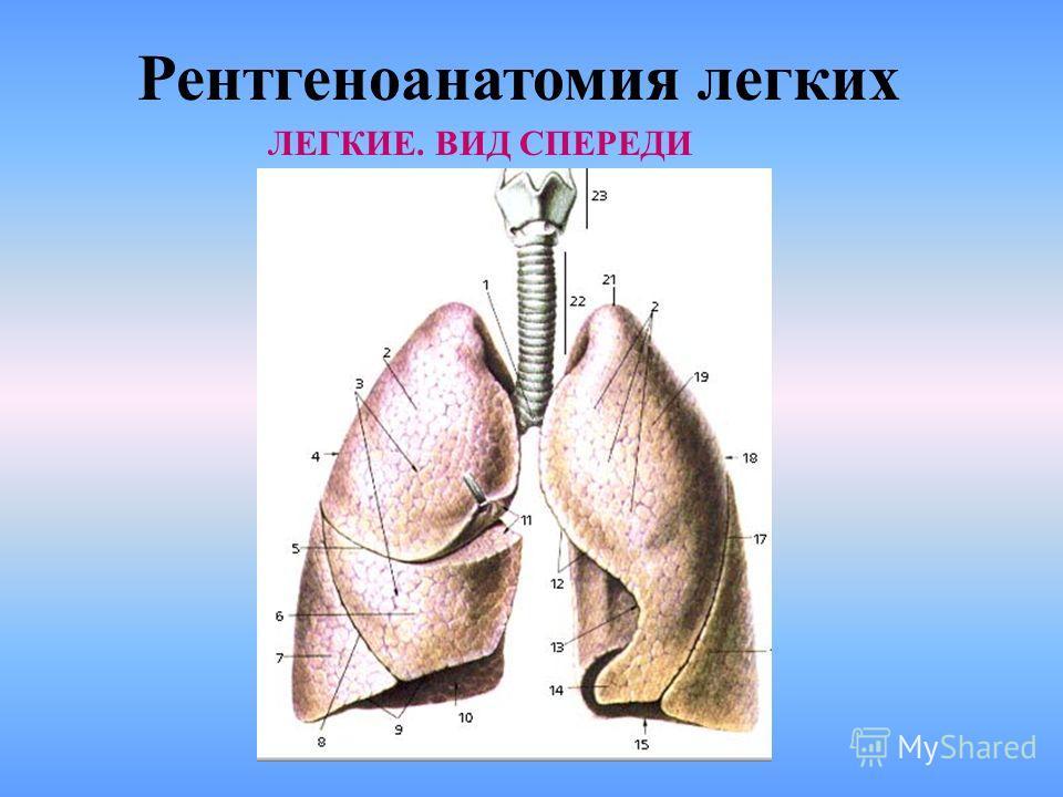 Рентгеноанатомия легких ЛЕГИЕ. ВИД СПЕРЕДИ