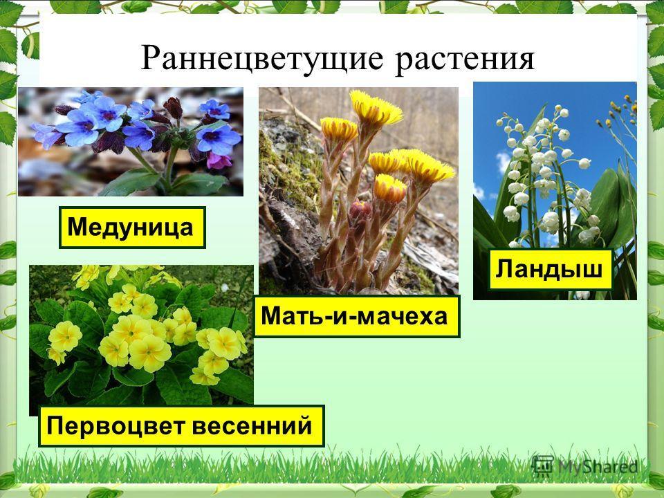 Раннецветущие растения Медуница Мать-и-мачеха Ландыш Первоцвет весенний