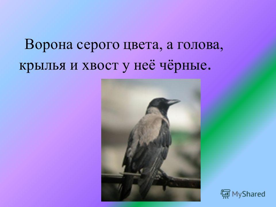 Ворона серого цвета, а голова, крылья и хвост у неё чёрные.