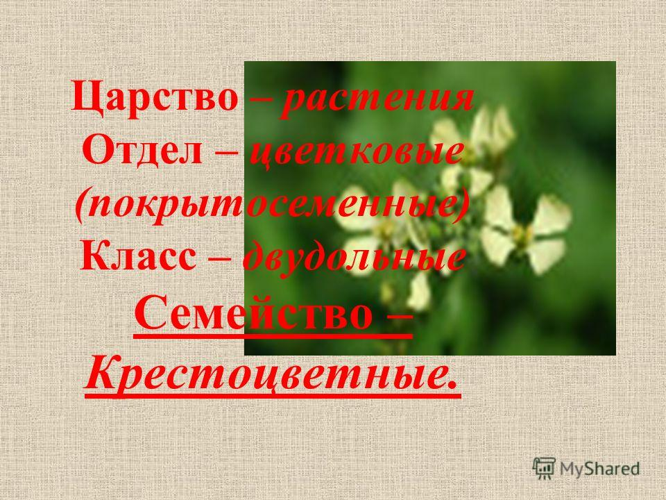Царство – растения Отдел – цветковые (покрытосеменные) Класс – двудольные Семейство – Крестоцветные.