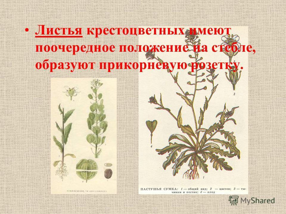 Листья крестоцветных имеют поочередное положение на стебле, образуют прикорневую розетку.