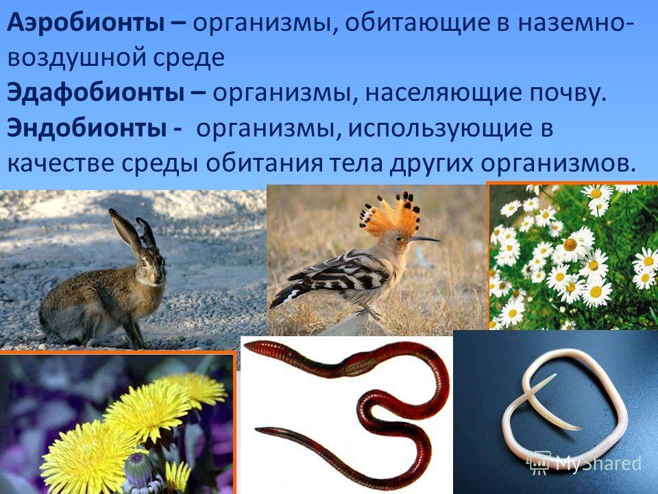 Аэробионты – организмы, обитающие в наземно- воздушной среде Эдафобионты – организмы, населяющие почву. Эндобионты - организмы, использующие в качестве среды обитания тела других организмов.