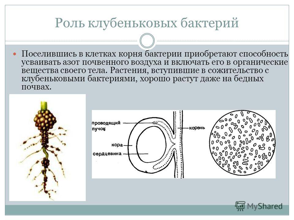 Роль клубеньковых бактерий Поселившись в клетках корня бактерии приобретают способность усваивать азот почвенного воздуха и включать его в органические вещества своего тела. Растения, вступившие в сожительство с клубеньковыми бактериями, хорошо расту