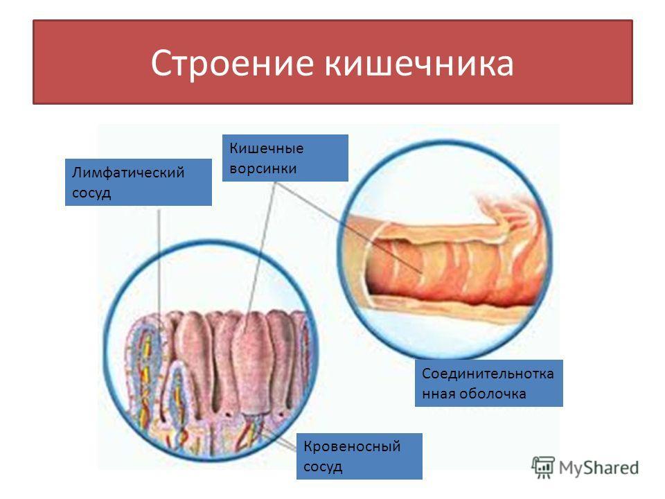 Строение кишечника Кишечные ворсинки Соединительнотка нная оболочка Лимфатический сосуд Кровеносный сосуд