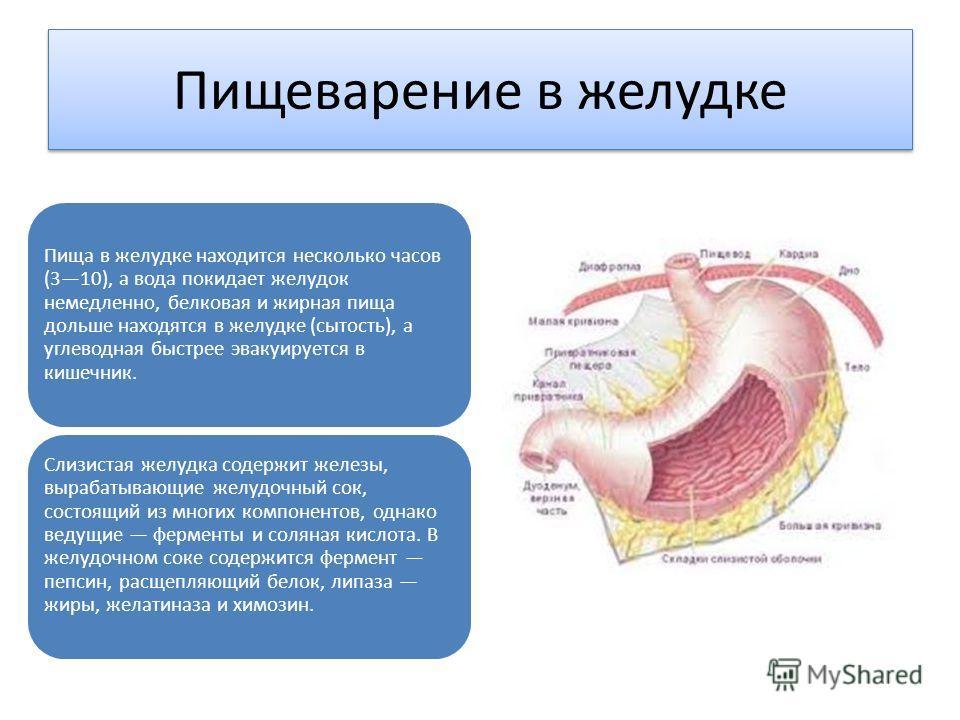 Пищеварение в желудке Пища в желудке находится несколько часов (310), а вода покидает желудок немедленно, белковая и жирная пища дольше находятся в желудке (сытость), а углеводная быстрее эвакуируется в кишечник. Слизистая желудка содержит железы, вы