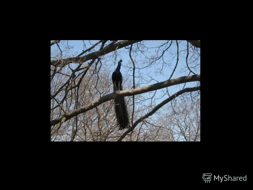 Павли́ны (Pavo Linnaeus) род крупных птиц из подсемейства фазановых. Всего в мире существует около 40 разновидностей павлинов. Большинство людей считает, что великолепные перья составляют хвост павлина. Но на самом деле это не хвост. Перья эти относя