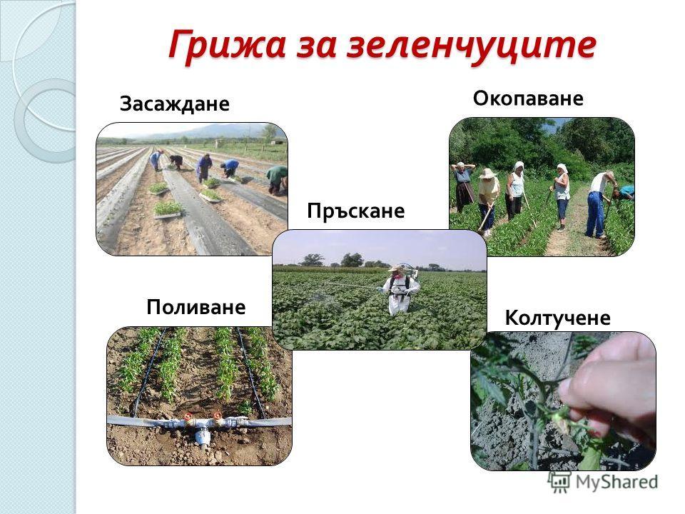 Грижа за зеленчуците Засаждане Окопаване Пръскане Поливане Колтучене