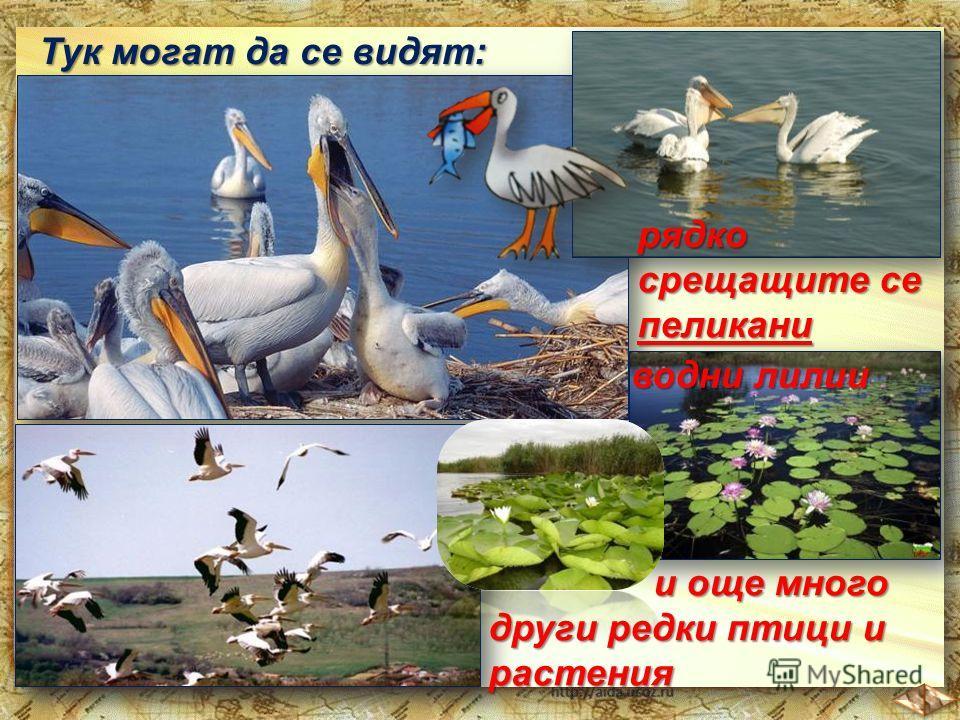Тук могат да се видят: рядко срещащите се пеликани водни лилии и още много други редки птици и и още много други редки птици ирастения