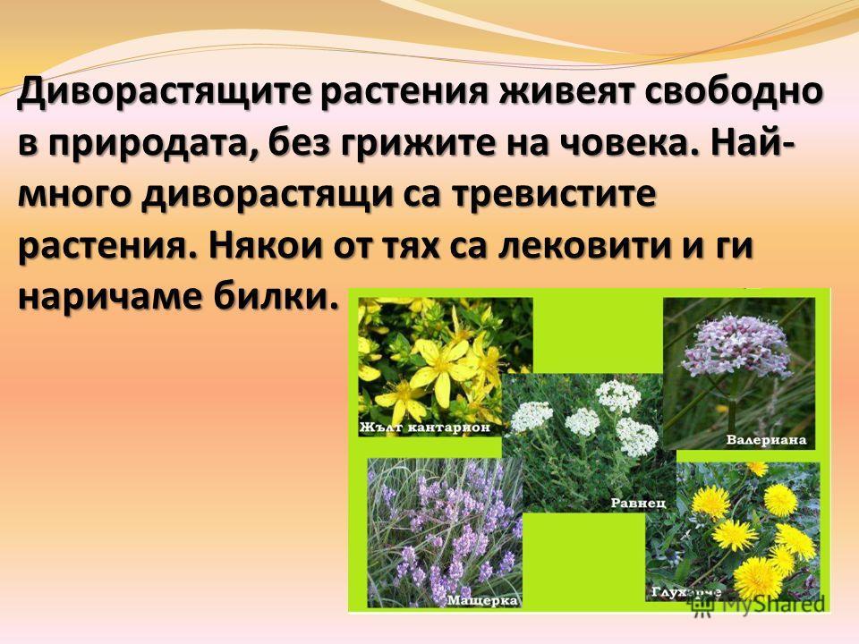 Диворастящите растения живеят свободно в природата, без грижите на човека. Най- много диворастящи са тревистите растения. Някои от тях са лековити и ги наричаме билки.