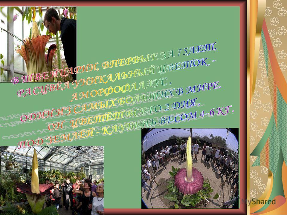Знакомьтесь – Раффлезия Паразитическое растение с самыми крупными в мире цветками, но полностью лишённое листьев, стебля и корней. Цветы достигают 1 м в диаметре и весят 4-6 кг. Красавица, не правда ли?