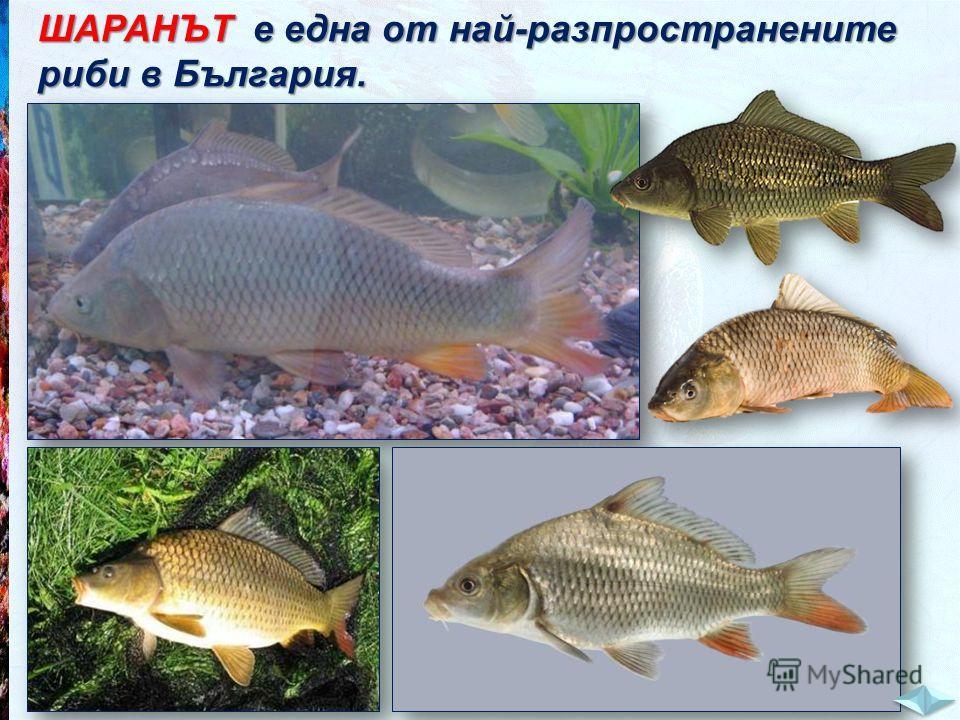 ШАРАНЪТ е една от най-разпространените риби в България.