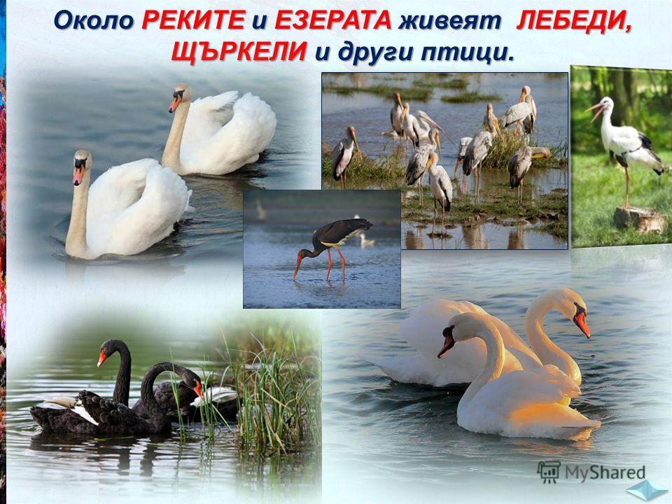 Около РЕКИТЕ и ЕЗЕРАТА живеят ЛЕБЕДИ, ЩЪРКЕЛИ и други птици.
