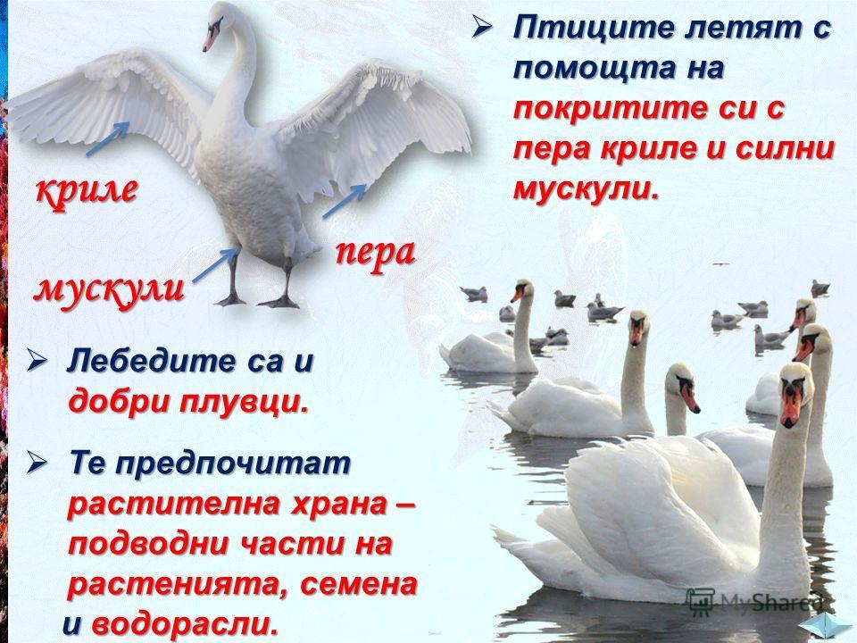 Птиците летят с помощта на покритите си с пера криле и силни мускули. Птиците летят с помощта на покритите си с пера криле и силни мускули. криле пера мускули Лебедите са и добри плувци. Лебедите са и добри плувци. Те предпочитат растителна храна – п