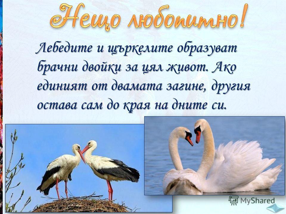 Лебедите и щъркелите образуват брачни двойки за цял живот. Ако единият от двамата загине, другия остава сам до края на дните си.
