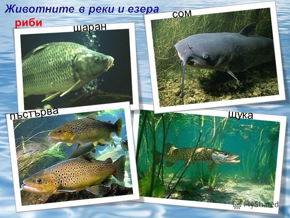 щука сом риби шаран пъстърва