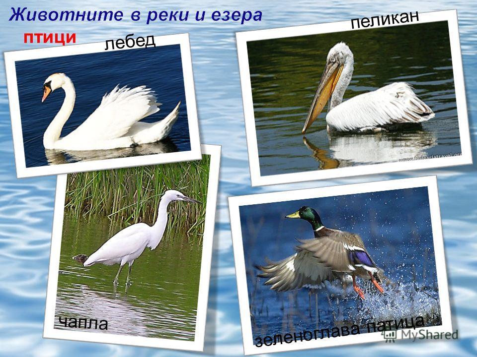 птици зеленоглава патица чапла пеликан лебед
