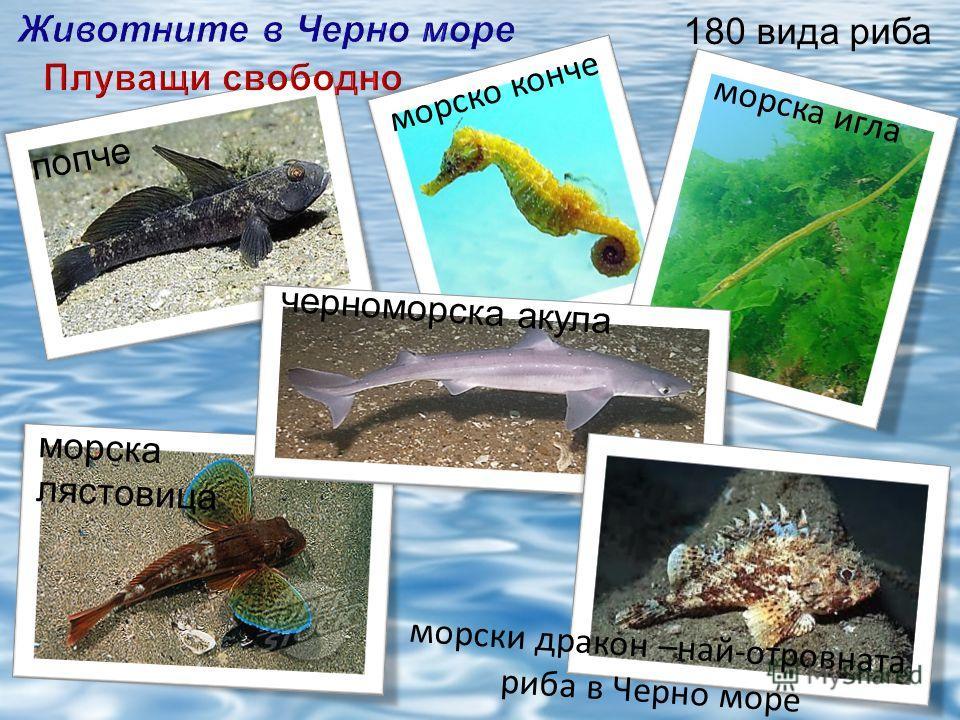 морска лястовица морско конче морска игла попче черноморска акула морски дракон –най-отровната риба в Черно море 180 вида риба