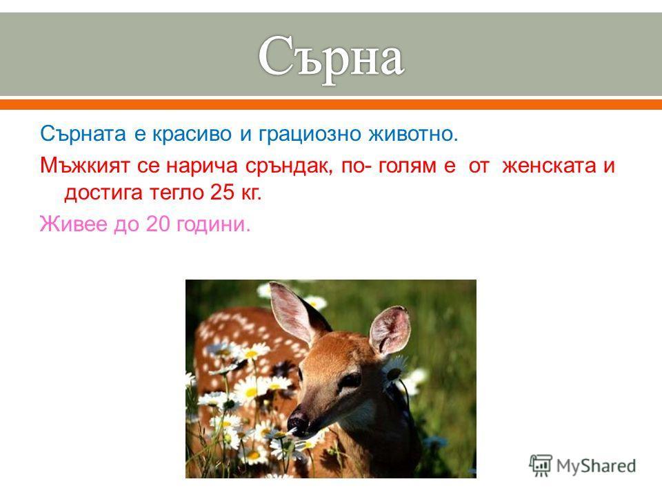 Сърната е красиво и грациозно животно. Мъжкият се нарича сръндак, по - голям е от женската и достига тегло 25 кг. Живее до 20 години.