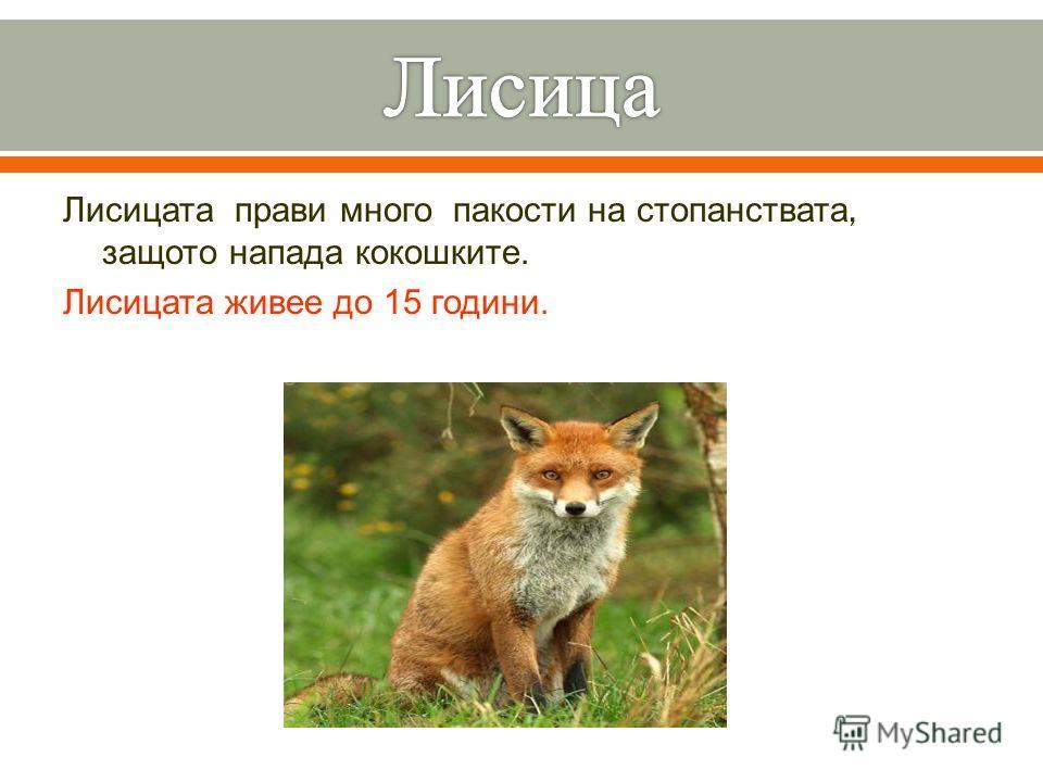 Лисицата прави много пакости на стопанствата, защото напада кокошките. Лисицата живее до 15 години.