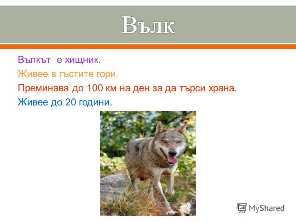 Вълкът е хищник. Живее в гъстите гори. Преминава до 100 км на ден за да търси храна. Живее до 20 години.
