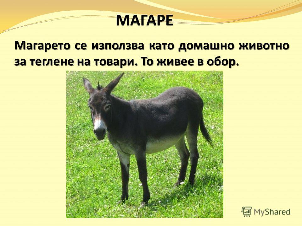 Магарето се използва като домашно животно за теглене на товари. То живее в обор.