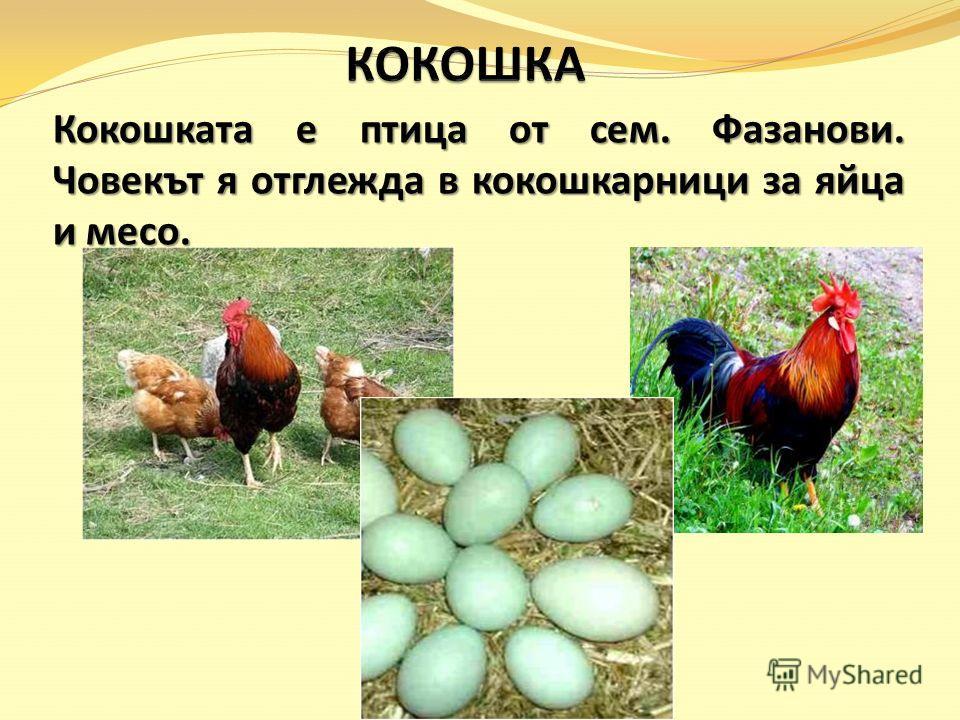 Кокошката е птица от сем. Фазанови. Човекът я отглежда в кокошкарници за яйца и месо.
