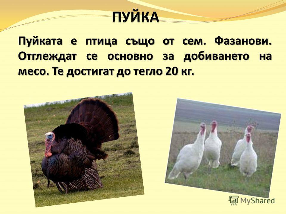 Пуйката е птица също от сем. Фазанови. Отглеждат се основно за добиването на месо. Те достигат до тегло 20 кг.