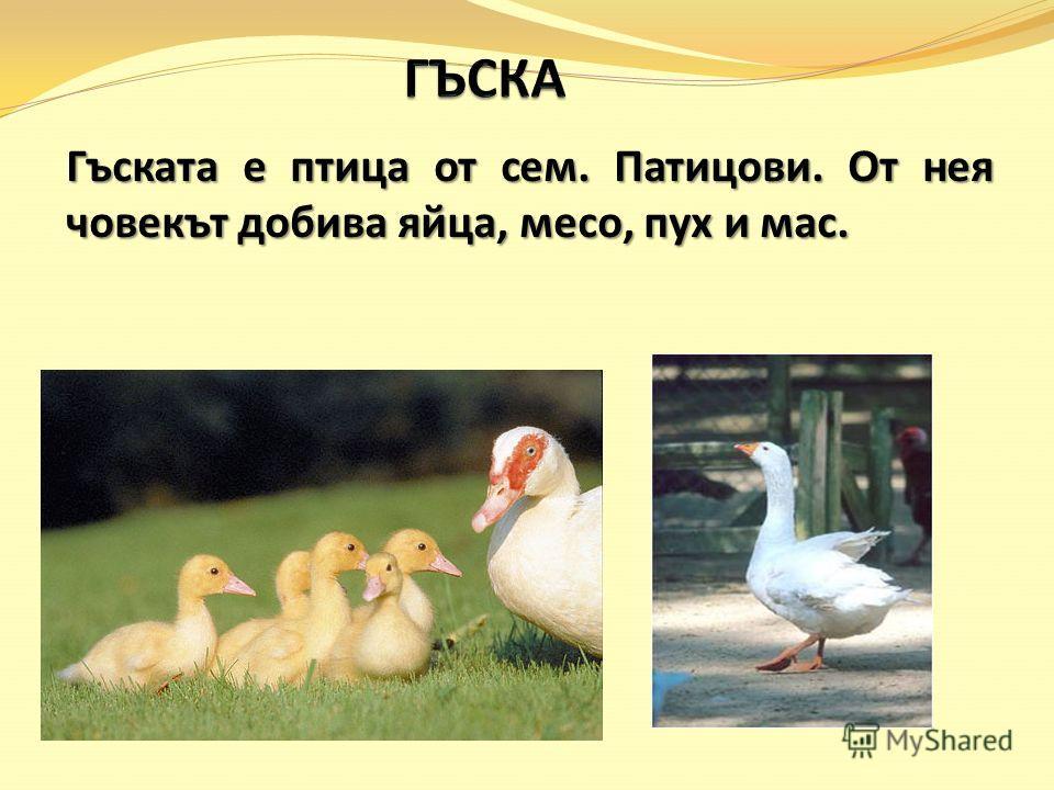 Гъската е птица от сем. Патицови. От нея човекът добива яйца, месо, пух и мас.