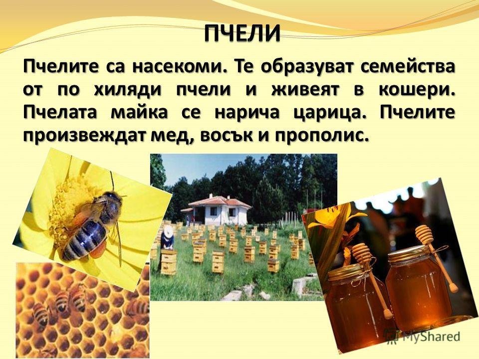 Пчелите са насекоми. Те образуват семейства от по хиляди пчели и живеят в кошери. Пчелата майка се нарича царица. Пчелите произвеждат мед, восък и прополис.