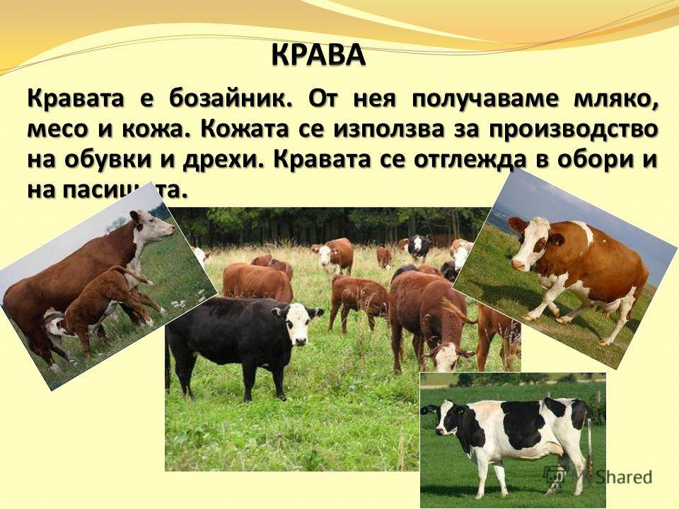Кравата е бозайник. От нея получаваме мляко, месо и кожа. Кожата се използва за производство на обувки и дрехи. Кравата се отглежда в обори и на пасищата.